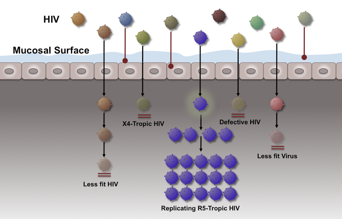 Despite presence of a diverse quasispecies of HIV present in semen, cervicovaginal secretions, or blood, a single virion (or a few virions) is usually responsible for catalyzing the initial HIV infection that results in a productive infection.<div>Source: Keele BF, Giorgi EE, Salazar-Gonzalez JF, et al. Identification and characterization of transmitted and early founder virus envelopes in primary HIV-1 infection. Proc Natl Acad Sci U S A. 2008;105:7552-7.</div>