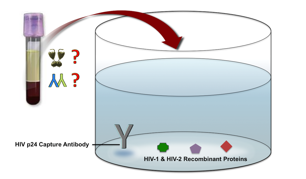 The fourth generation HIV-antigen-antibody assays contain components that will detect HIV-1 p24 antigen, antibodies to HIV-1, and antibodies to HIV-2. The HIV-1 and HIV-2 recombinant proteins vary from assay to assay.<div>Illustration by David H. Spach, MD</div>