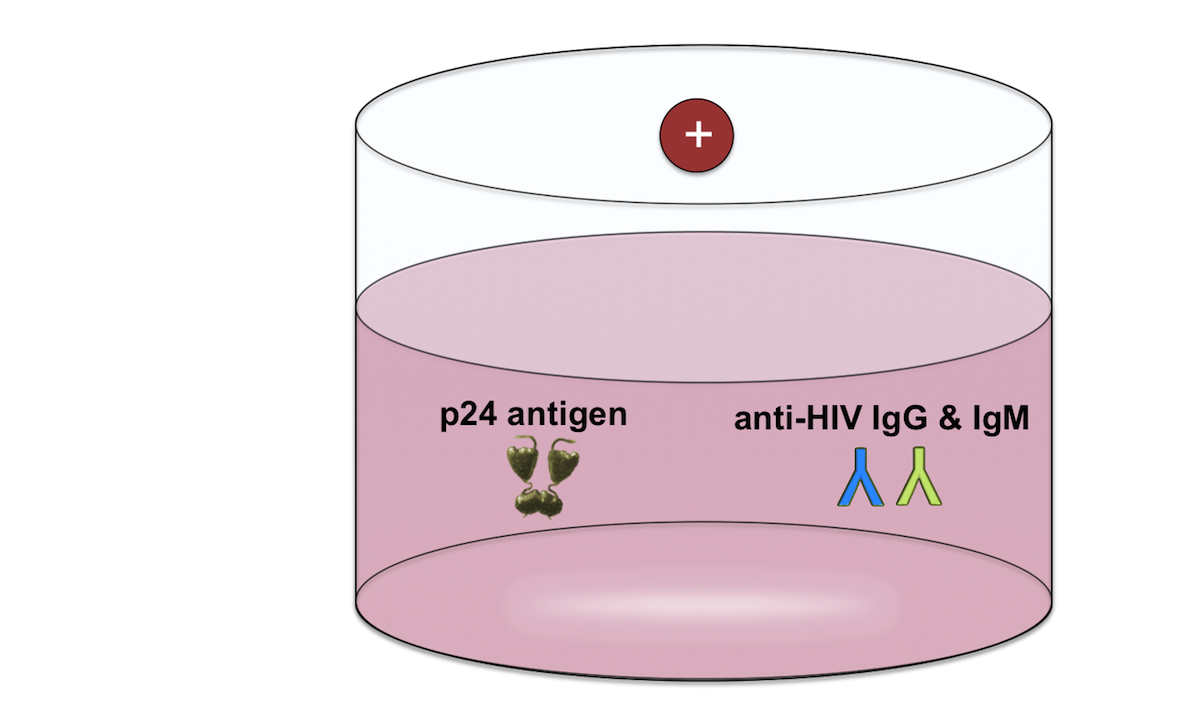 The fourth-generation antigen-antibody assay will turn positive with the presence of one or more of the following: HIV-1 p24 antigen, antibodies to HIV-1, or antibodies to HIV-2. With most of these assays, the positive reaction is non-specific and thus does not differentiate HIV-1 p24 antigen, antibodies to HIV-1, or antibodies to HIV-2. In addition, the assay will not determine whether more than one of these components are present in a positive reaction.<div>Illustration: David H. Spach, MD</div>