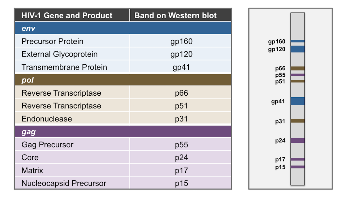 This graphic shows the relationship of the HIV-1 genes and products with the corresponding band on the HIV-1 Western blot.<div></div>