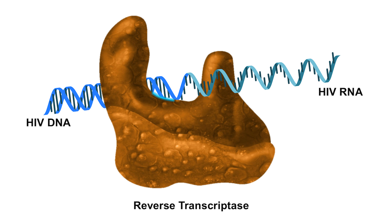 The key function of HIV reverse transcriptase is to convert HIV RNA to HIV DNA. The actual reverse transcriptase process is a multiple-step, highly complicated process that involves polymerase, RNase H, and an RNA-DNA intermediate hybrid.<div>Illustration by David Ehlert, Cognition Studio and David Spach, MD</div>