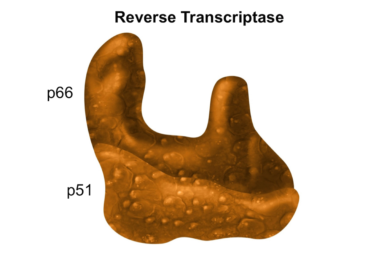 Reverse transcriptase is a DNA polymerase heterodimer comprised of p66 and p51 subunits. The p66 and p51 subunits are 560 and 440 amino acids in length, respectively. These two subunits share the same first 440 amino acids.<div>Illustration by David Ehlert, Cognition Studio</div>