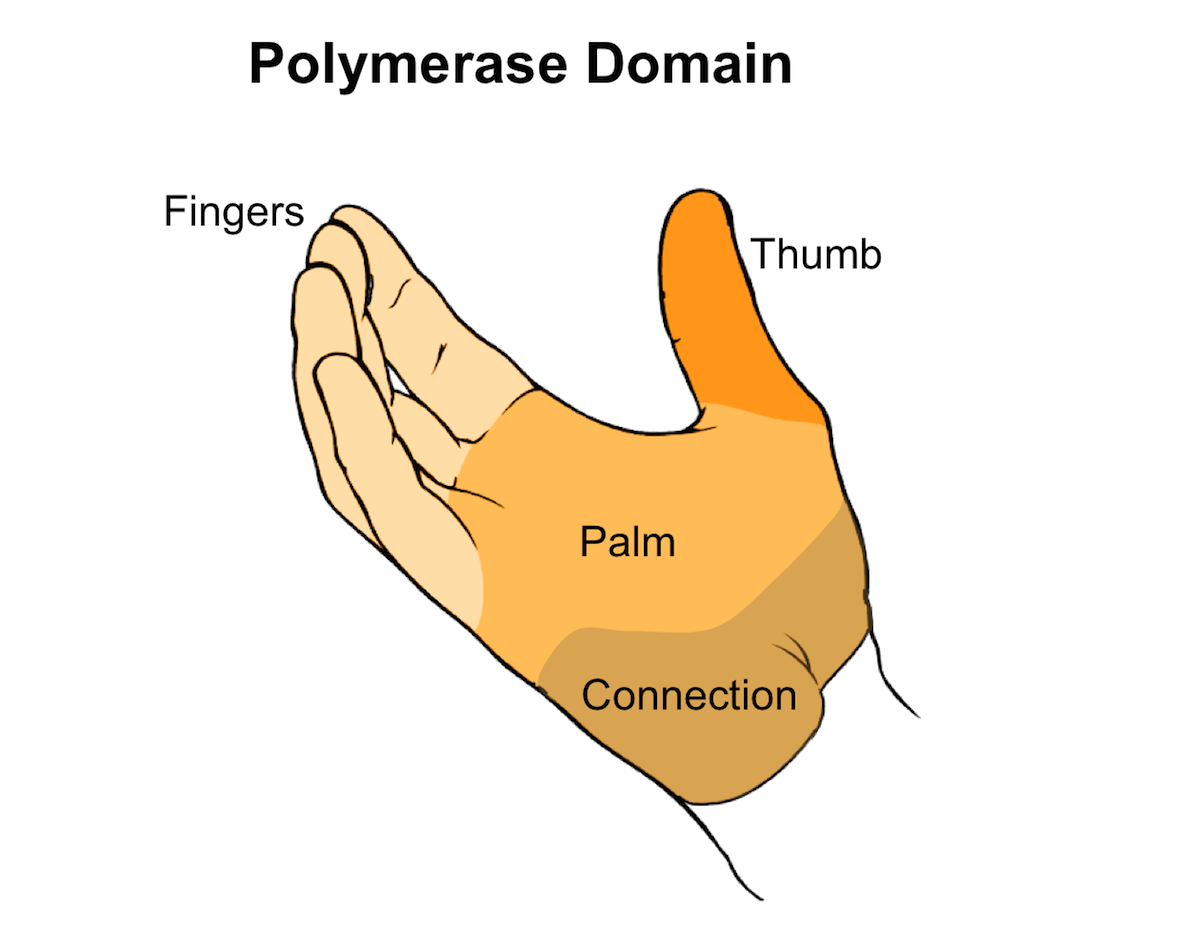 The structure of the polymerase domain resembles a right hand and consists of four domains: fingers, palm, thumb, and connection.<div>Illustration by David Ehlert, Cognition Studio and David Spach, MD</div>