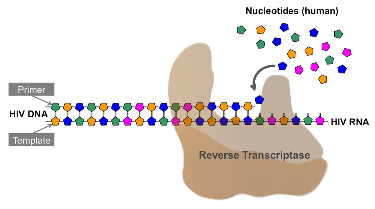 The reverse transcriptase, similar to other DNA polymerase enzymes, utilizes both a primer and a template. This simplified depiction shows the HIV RNA genome serving as the template and strand functioning as the primer where new nucleotides are added.<div>Illustration by David Spach, MD</div>