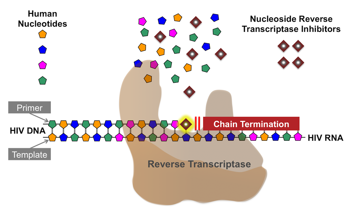 All of the nucleoside reverse transcriptase inhibitors approved to treat HIV lack a 3'-hydroxyl component and thus additional nucleotides cannot be linked to the the nucleoside reverse transcriptase inhibitor. The nucleoside reverse transcriptase inhibitors thus act as chain terminators when incorporated into the viral DNA by the HIV reverse transcriptase.<div>Illustration by David Spach, MD</div>