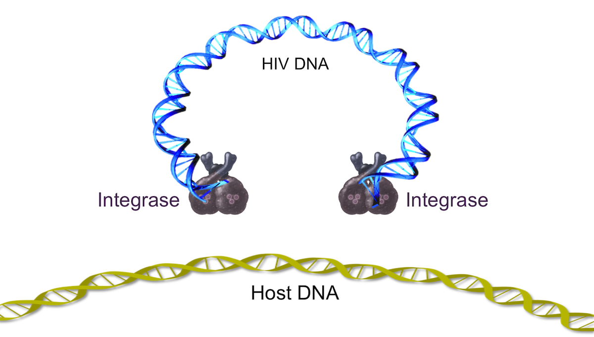 The HIV integrase binds to HIV DNA (most likely in the dimer form); the integrase-HIV DNA complex is part of a particle known as the preintegration complex. This newly formed preintegration complex has to migrate inside the host nucleus for integration to occur.<div>Illustration by David Ehlert, Cognition Studio and David Spach, MD</div>