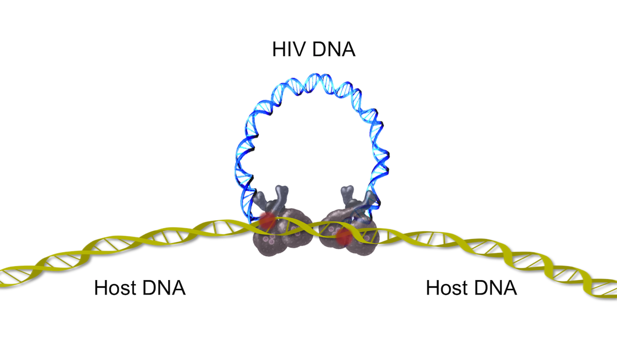 This strand transfer reaction is initiated as the HIV integrase catalyzes the HIV DNA 3-hydroxyl group attack on the host DNA. The attack by the viral DNA occurs on opposite strands of the host DNA in a staggered fashion, typically 4-6 base pairs apart.<div>Illustration by David Ehlert, Cognition Studio and David Spach, MD</div>