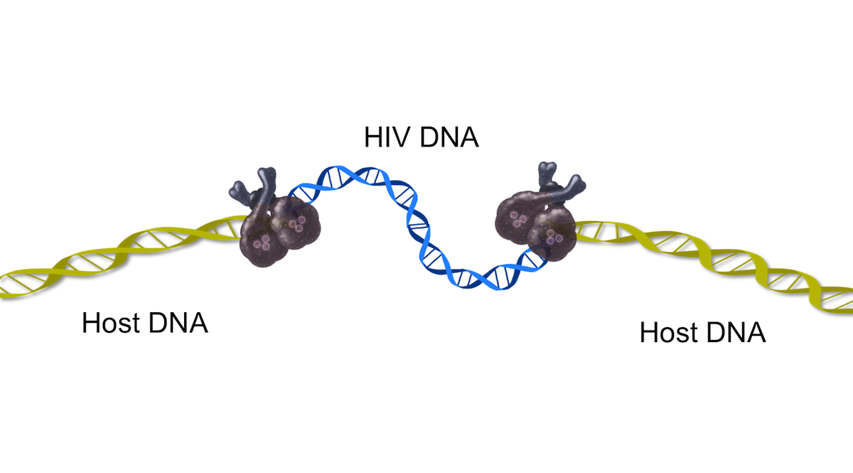 At this point, the newly joined viral-host DNA region unfolds. The insertion of the new HIV DNA induce a host cellular DNA damage response. This host response is critical in the final step of integration, known as gap repair.<div>Illustration by David Ehlert, Cognition Studio and David Spach, MD</div>