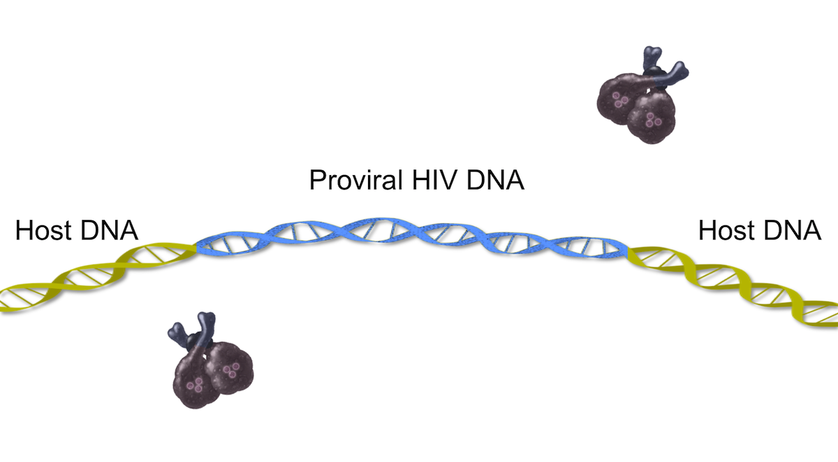 The HIV DNA that is incorporated into the host DNA is referred to as proviral DNA.<div>Illustration by David Ehlert, Cognition Studio and David Spach, MD</div>