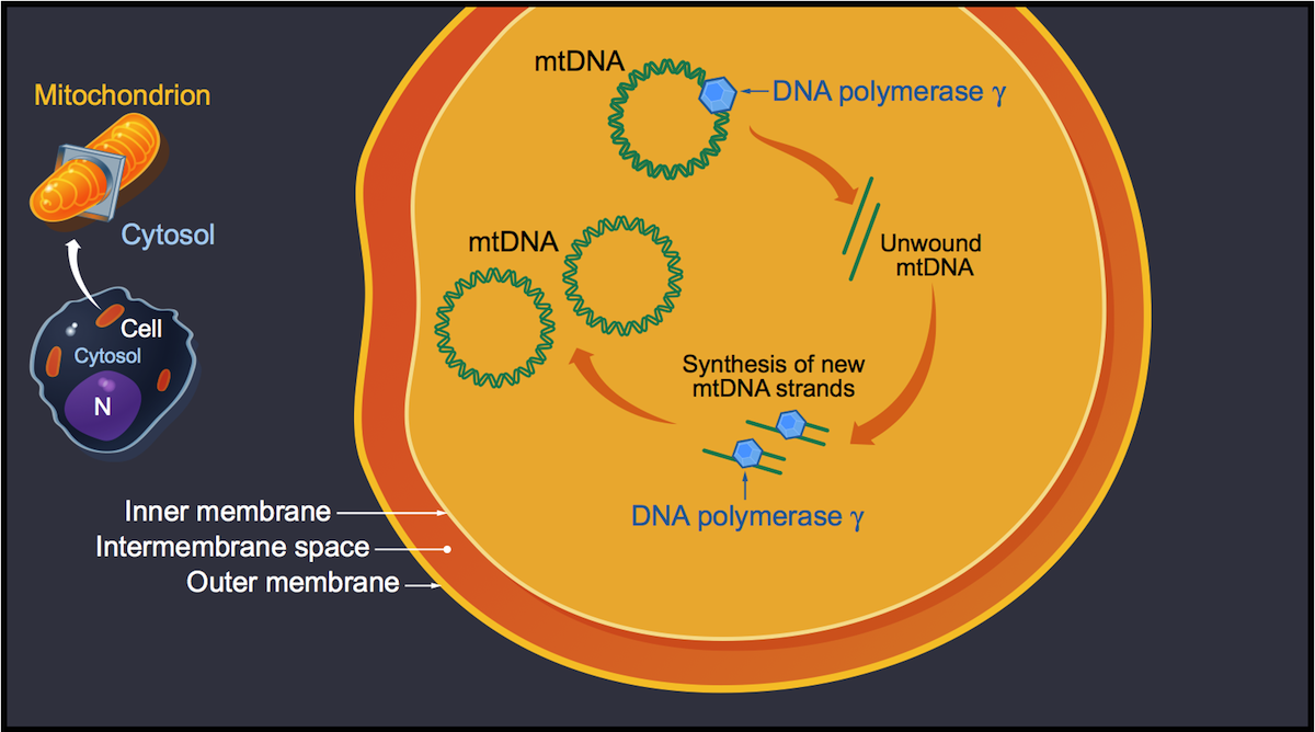 Each cell has multiple mitochondria and each mitochondrion contains multiple copies of its own DNA (mtDNA). The enzyme DNA polymerase γ catalyzes the formation of new mtDNA.<div>Illustration by David Ehlert, Cognition Studio and David Spach, MD</div>
