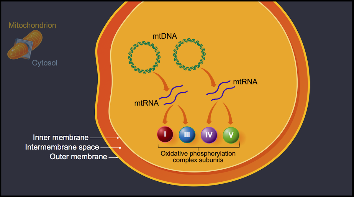 The new mtDNA encodes for mtRNA that in turn encodes for proteins that function as subunits for 4 of the 5 oxidative phosphorylation complexes. These complexes subsequently become part of the oxidative phosphorylation system.<div>Illustration by David Ehlert, Cognition Studio and David Spach, MD</div>