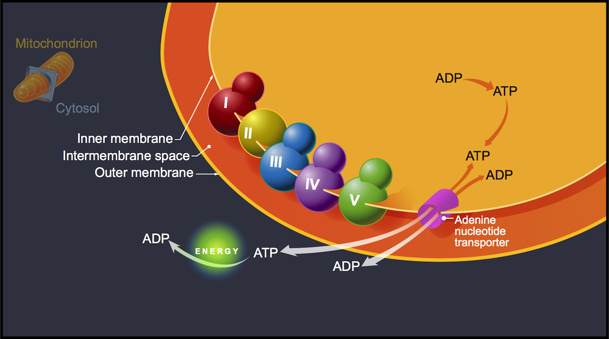 The conversion of the ADP to ATP within the mitochondria is followed by the transport of the ATP from the mitochondria to the cytosol via the adenine nucleotide transporter. This transporter shuttles ATP and ADP across the mitochondrial membrane. Within the cytosol, the conversion of ATP to ADP generates energy for the cell.<div>Illustration by David Ehlert, Cognition Studio and David Spach, MD</div>