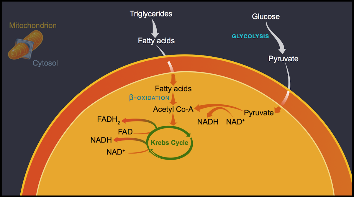 The process of glycolysis in the cytosol and β-oxidation in the mitochondria generate acetyl Co-A, which then enters the Krebs cycle, causing a series of redox reactions that reduce electron carrying agents (NAD<sup>+</sup> to NADH and FAD to FADH<sub>2</sub>). The NADH and FADH<sub>2</sub> play a critical role in the oxidation phosphorylation process.<div>Illustration by David Ehlert, Cognition Studio and David Spach, MD</div>