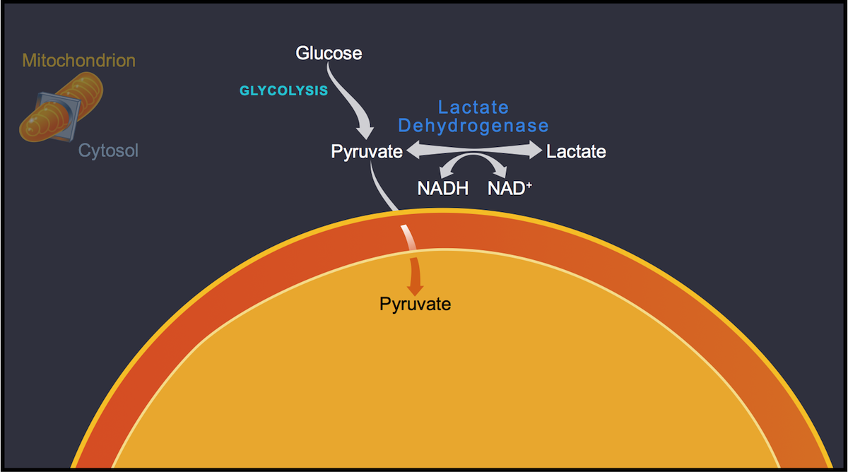 Conditions within the cell determine the fate of pyruvate. Aerobic conditions favor a higher NAD<sup>+</sup> to NADH ratio and thus a flow of lactate to pyruvate. Anaerobic conditions (or disruption of the oxidative phosphorylation system) favor conversion of pyruvate to lactate because of a higher NADH to NAD<sup>+</sup> ratio.<div>Illustration by David Ehlert, Cognition Studio and David Spach, MD</div>