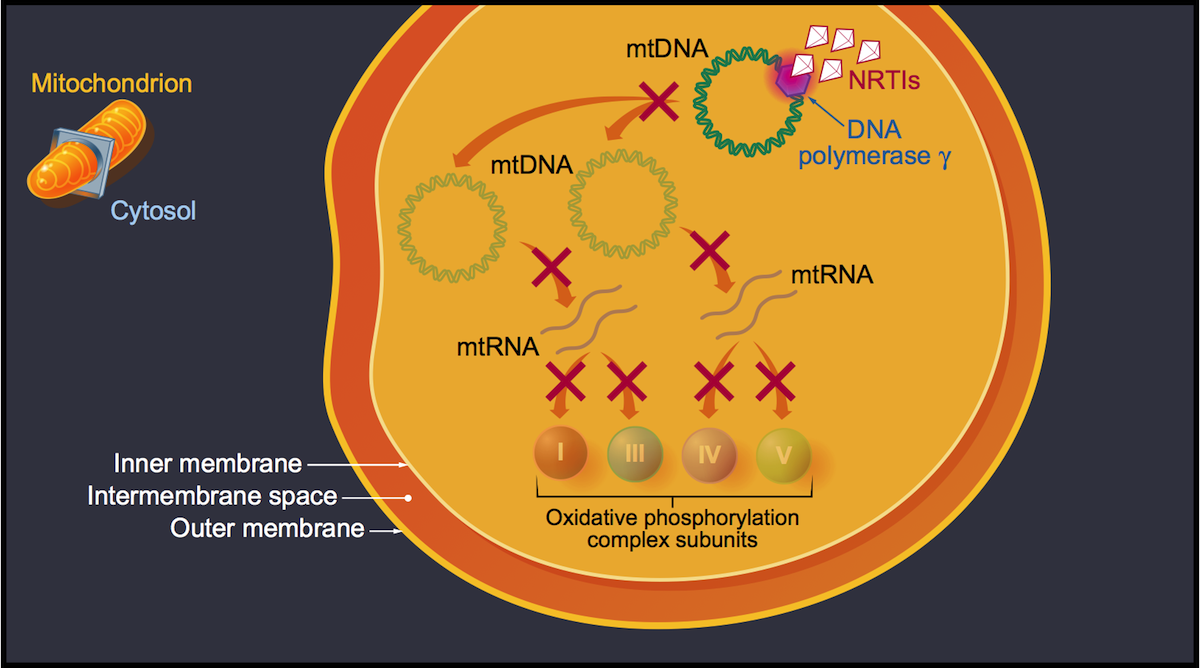 Some NRTIs have the potential to significantly inhibit DNA polymerase γ and impact mtDNA synthesis. This effect is most prominent with stavudine and didanosine. The decrease in mtDNA synthesis in turn leads to diminished mtRNA, resulting in decreased synthesis of some oxidative phosphorylation system subunits.<div>Illustration by David Ehlert, Cognition Studio and David Spach, MD</div>