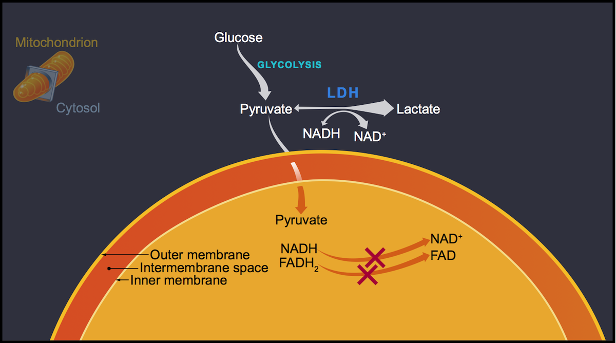 The drop off in conversion of NADH to NAD<sup>+</sup> results in an increased NADH to NAD<sup>+</sup> ratio.  The NADH reacts with pyruvate to form lactate. Thus, the overall effect of the increased NADH levels is to shift  the cytosolic conversion of pyruvate to lactate.<div>Illustration by David Ehlert, Cognition Studio and David Spach, MD</div>
