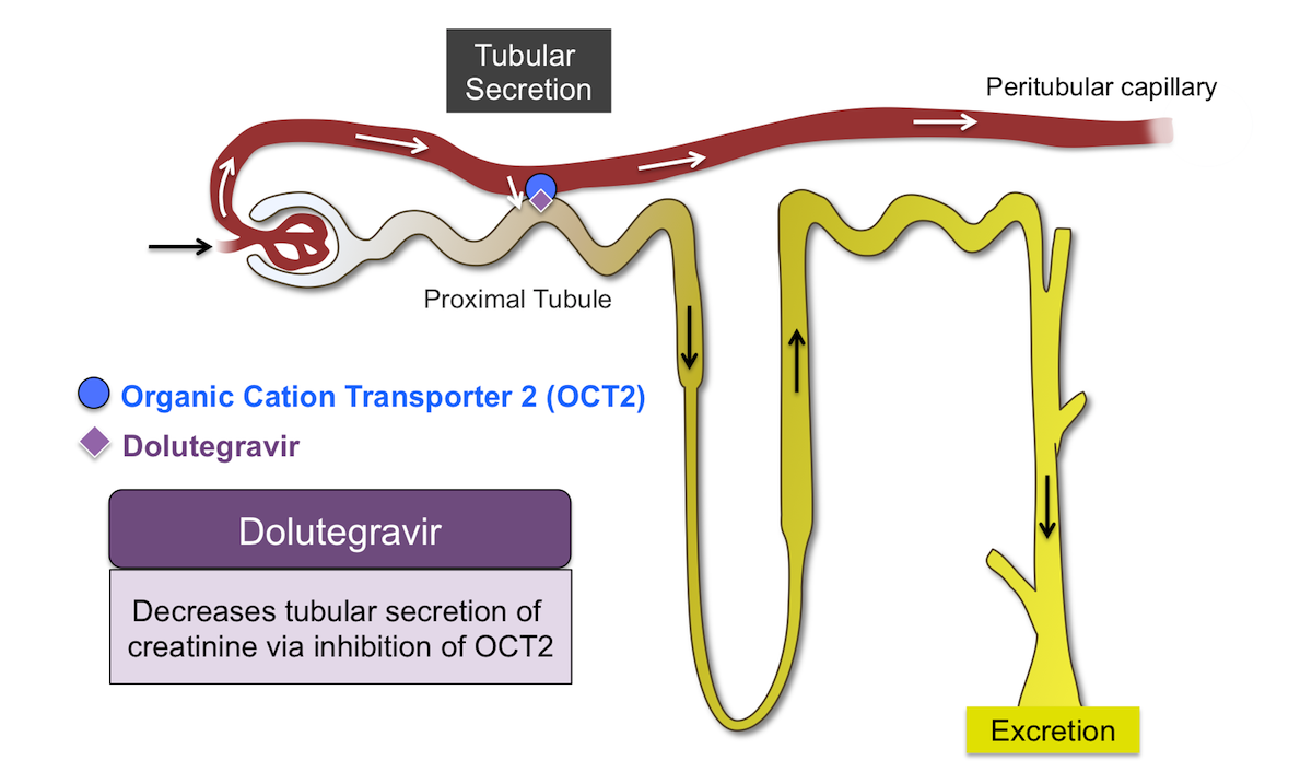 Dolutegravir can inhibit the urine organic cation transporter 2 (OCT2), a protein involved in renal tubular secretion of creatinine. The OCT2 transporter protein is located on the basolateral (blood) membrane of the renal tubular cell. The inhibition of OCT2 blocks the secretion of creatinine from the basolateral membrane of the peritubular capillary blood cell into the renal tubular cell. As a result, more serum creatinine remains in the blood and serum creatinine increases.<div>Illustration by Casandra Mack and David H. Spach, MD</div>