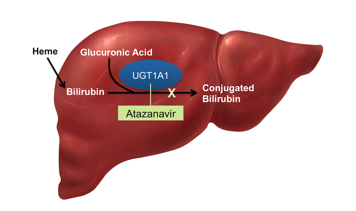 Atazanavir can increase serum total bilirubin through inhibition of the liver enzyme uridine diphosphate glucuronosyltransferase 1A1 (UGT1A1); this enzyme is a key enzyme in the normal glucuronidation of bilirubin.<div>Illustration by David Ehlert, Cognition Studio and David Spach, MD</div>