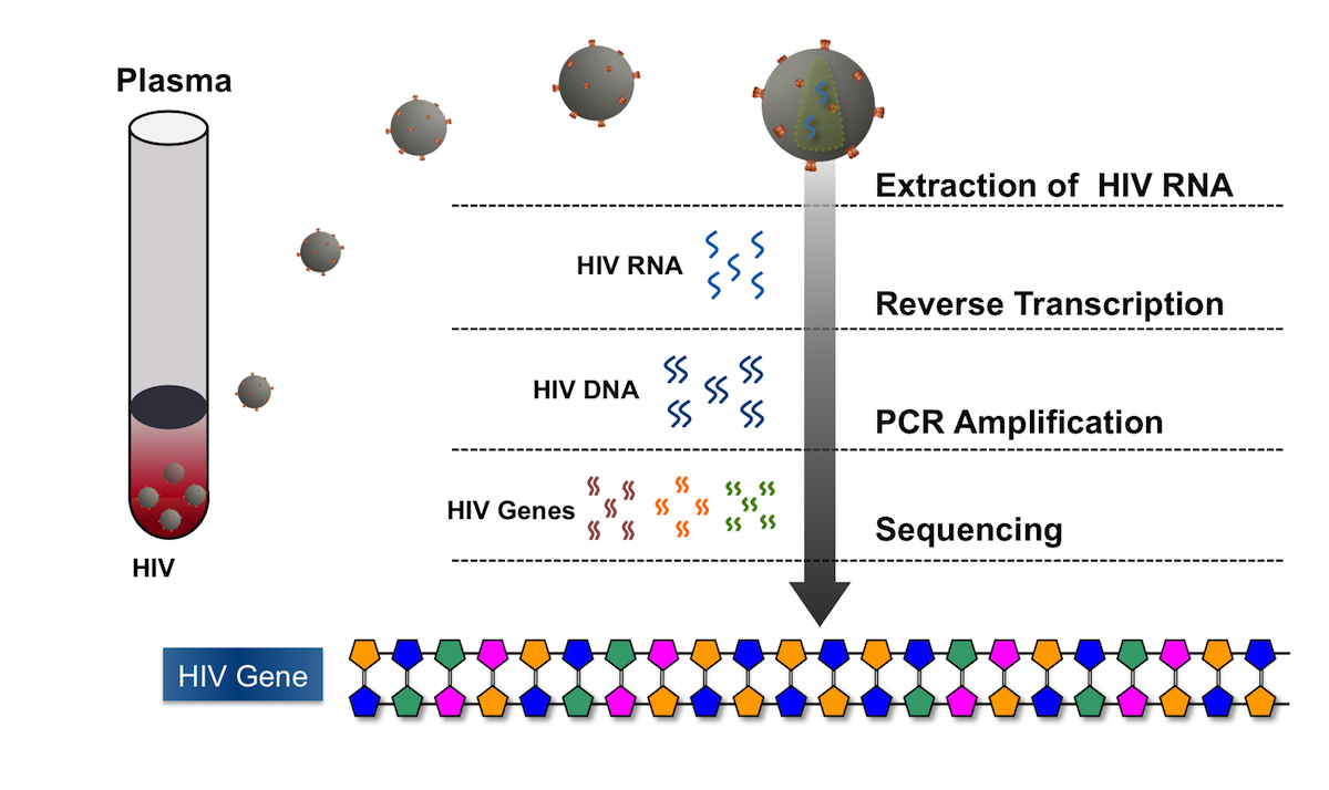 The HIV is first isolated from the plasma sample, then reverse transcribed in the laboratory to form HIV DNA. The HIV DNA sample is amplified using PCR techniques and then sequenced. Conventional HIV genotype assays routinely sequence DNA for the reverse transcriptase and protease genes. Assays are also available that can sequence the HIV integrase and envelope genes.<div>Illustration by David H. Spach, MD</div>