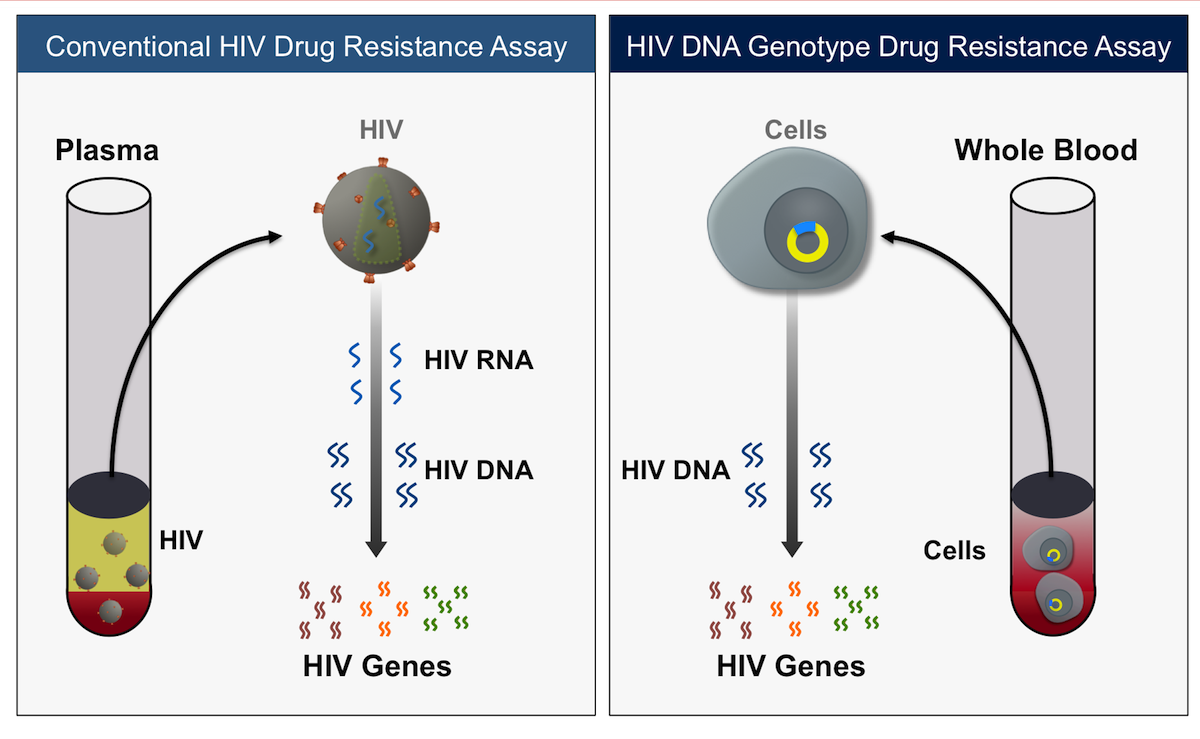 In contrast to a conventional HIV drug resistance assay, which is performed on a patient plasma sample and typically requires HIV RNA levels of at least 500 copies/mL or more, a HIV DNA drug resistance assay in performed on whole blood and it detects proviral DNA that is incorporated into host DNA in cells infected with HIV. The HIV DNA resistance assay can be performed in patients who have undetectable plasma HIV RNA levels.<div>Illustration by David H. Spach, MD</div>