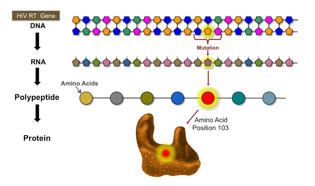 Mutations in the DNA sequence are analyzed to predict amino acid substitutions in the HIV polypeptide.<div>Illustration by David H. Spach, MD</div>