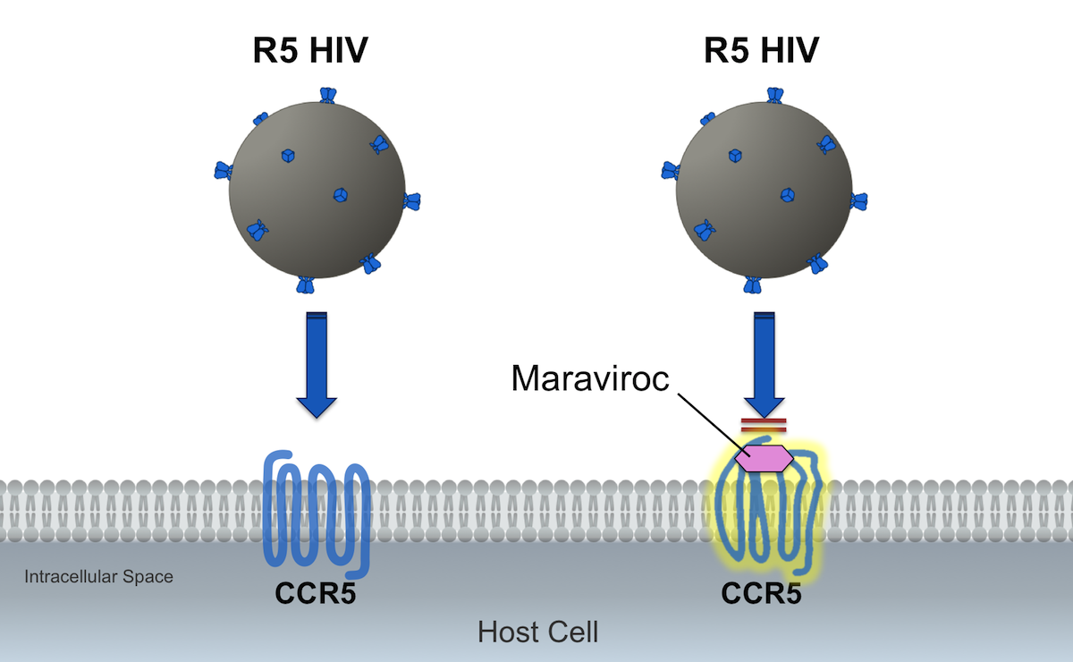 The CCR5 antagonist maraviroc binds to the host CCR5 coreceptor, rendering a conformational change in the coreceptor, which causes unfavorable binding of the V3 region of gp120 in the R5 strains of HIV.<div>Illustration by David Spach, MD</div>