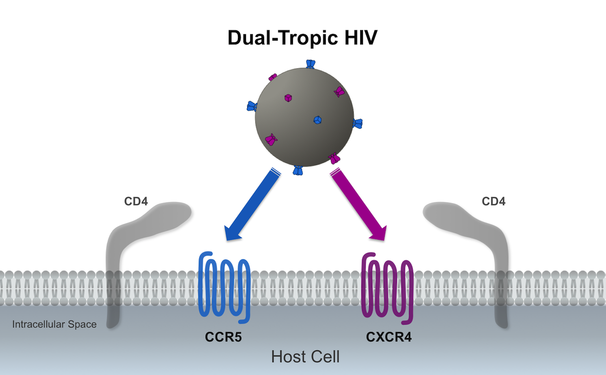In this illustration, the dual-tropic HIV is represented by both blue and purple envelope spikes; the dual-HIV can binds to the host CCR5 or CXCR4 coreceptors during the viral cell entry process.<div>Illustration by David Spach, MD</div>