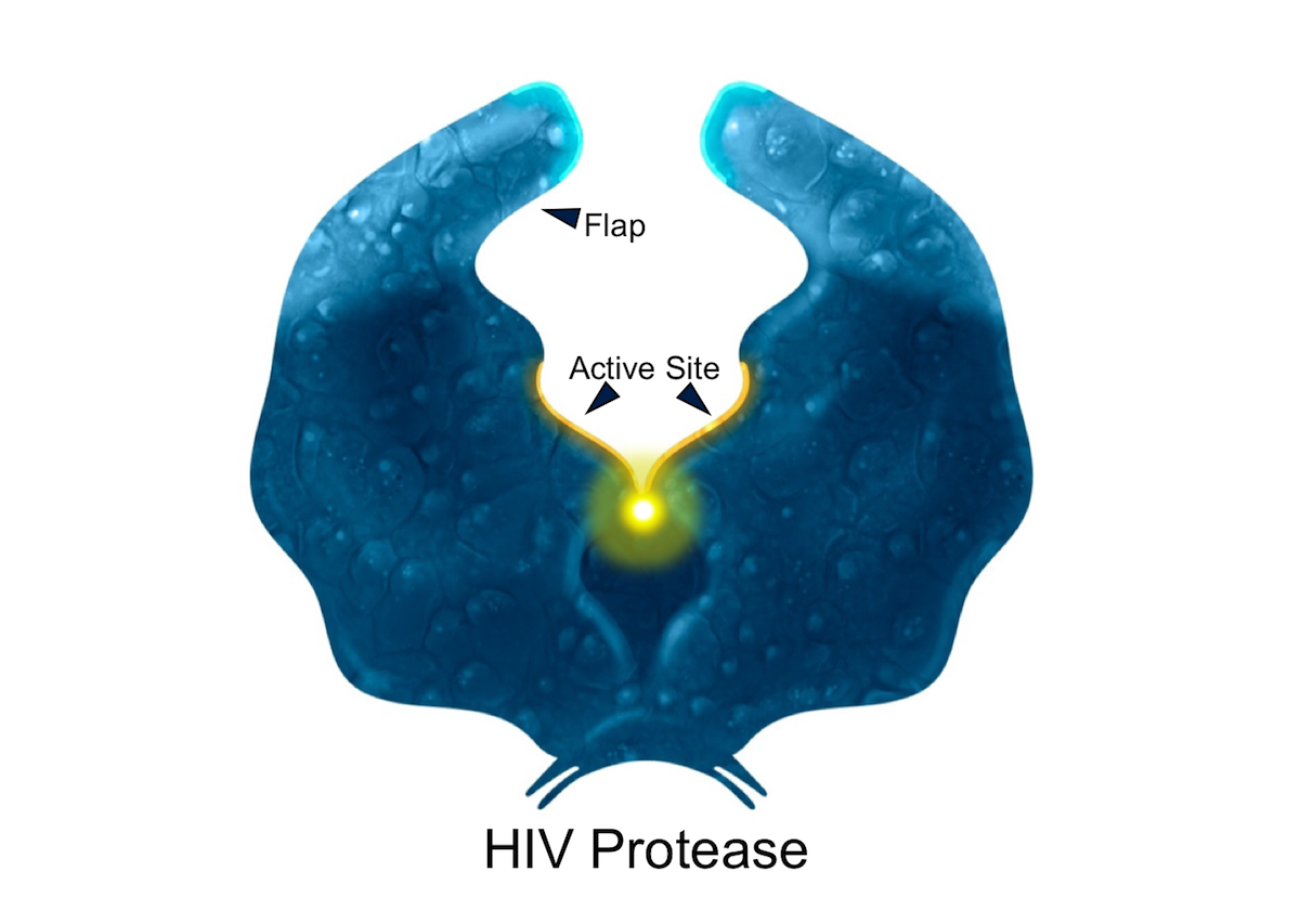 HIV protease is a99-amino acid dimer made up of two identical subunits.<div>Illustration by David Ehlert, Cognition Studio and David Spach, MD</div>