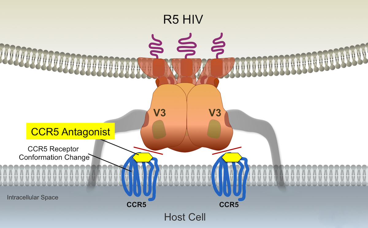 The binding of the CCR5 antagonist maraviroc causes a conformation change in the extracellular loop region of the CCR5 coreceptor. The changes in the CCR5 coreceptor that occur do not involve significant changes in the N-terminal region of the CCR5 coreceptor.<div>Illustration by David H. Spach, MD</div>