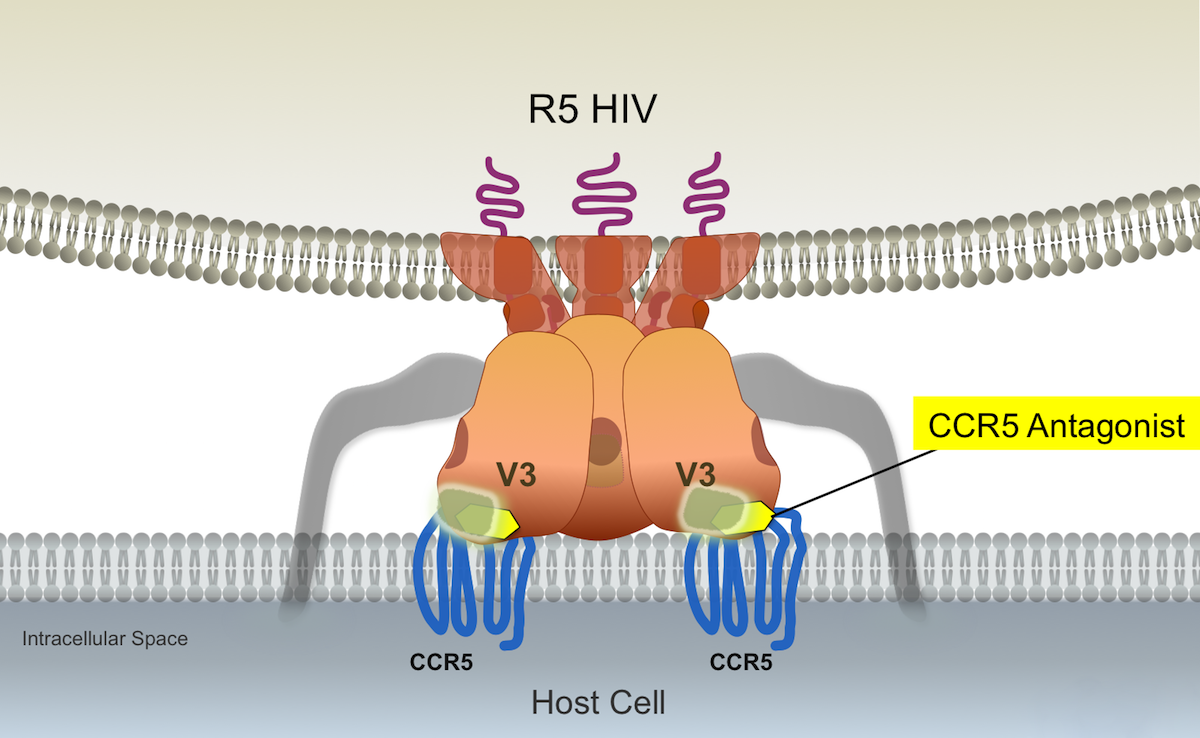 Resistance to maraviroc can occur when R5-tropic HIV-1 develops mutations that facilitate the gp120-CCR5 coreceptor binding despite maraviroc attachment to the CCR5 coreceptor and receptor conformational changes. When this type of resistance occurs, the binding of HIV-1 gp120 occurs with enhanced affinity at the CCR5 N-terminal domain region.<div>Illustration: David H. Spach, MD</div>