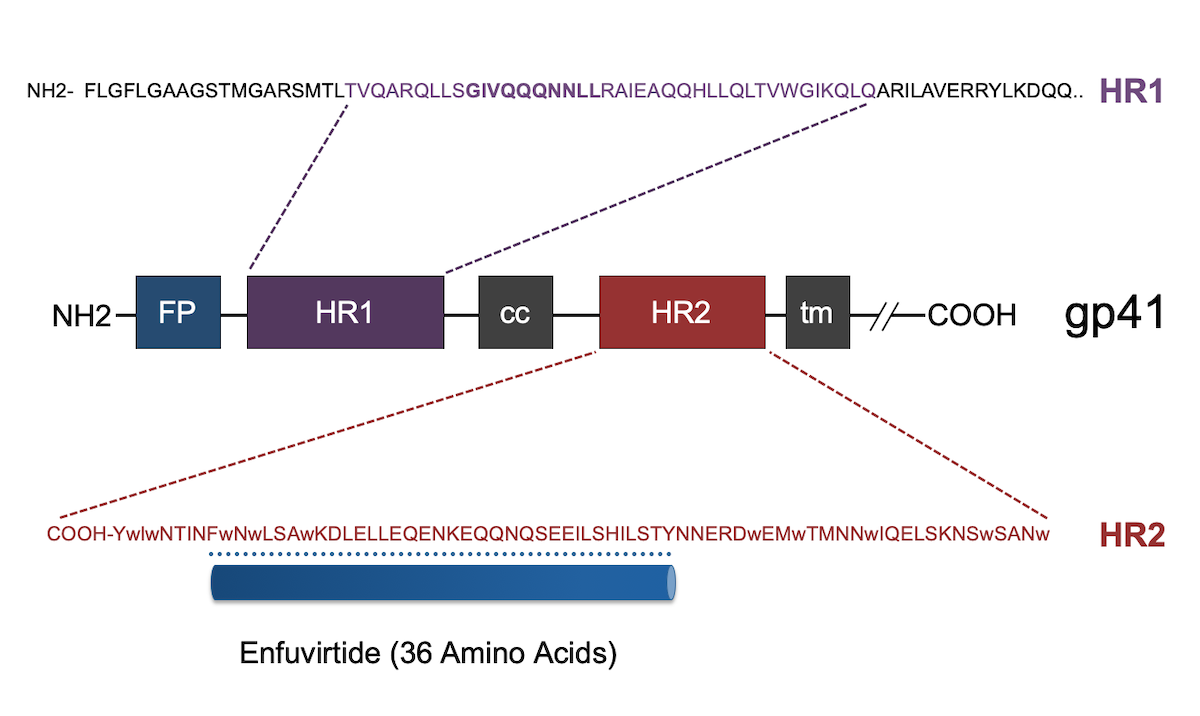 The antiretroviral medication enfuvirtide is a synthetic 36-amino-acid peptide that mimics a segment of the HR2 region of HIV-1 gp41. The medication binds to the corresponding HR1 region and thus prevents the normal HR1-HR2 binding that is critical for HIV-1 to form the 6-helix bundle.<div></div>