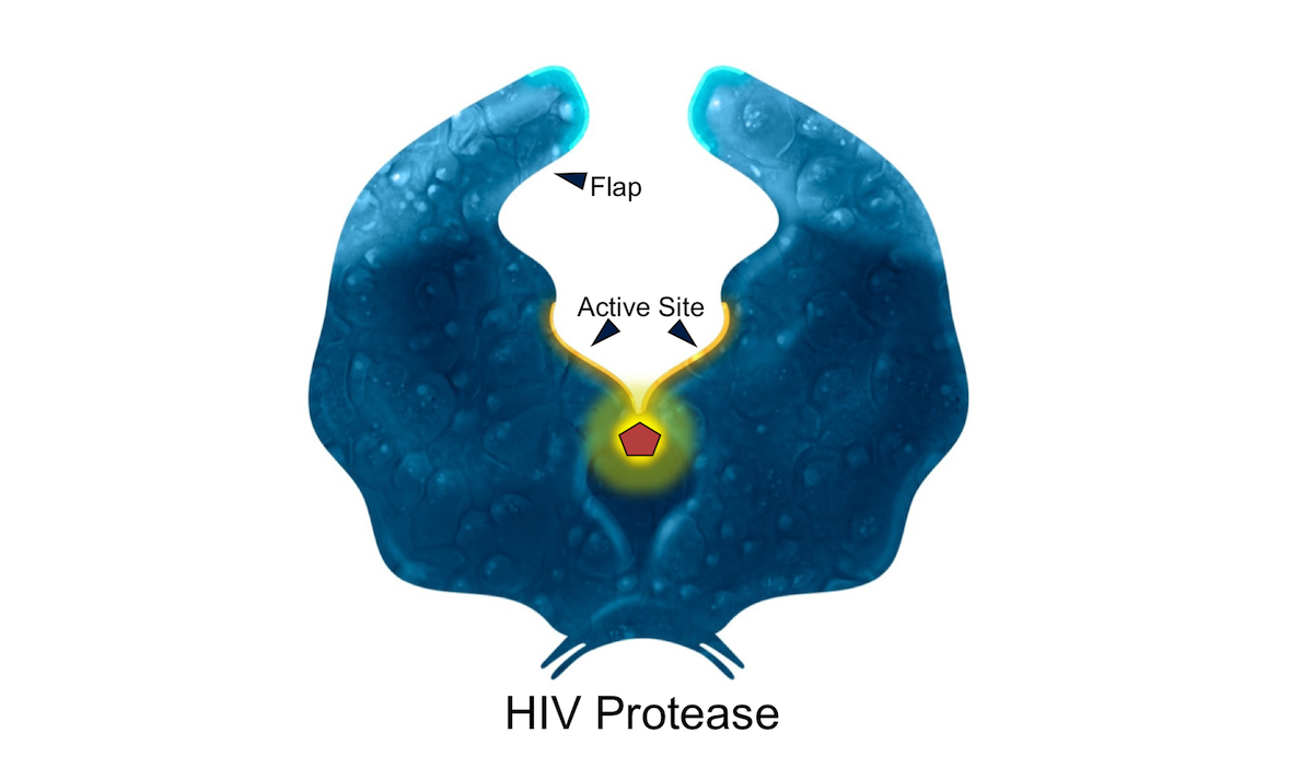 The HIV protease inhibitors bind to the active site of HIV protease and prevent protease processing of the Gag and Gag-Pol polyproteins.<div>Illustration by David Ehlert, Cognition Studio and David Spach, MD</div>