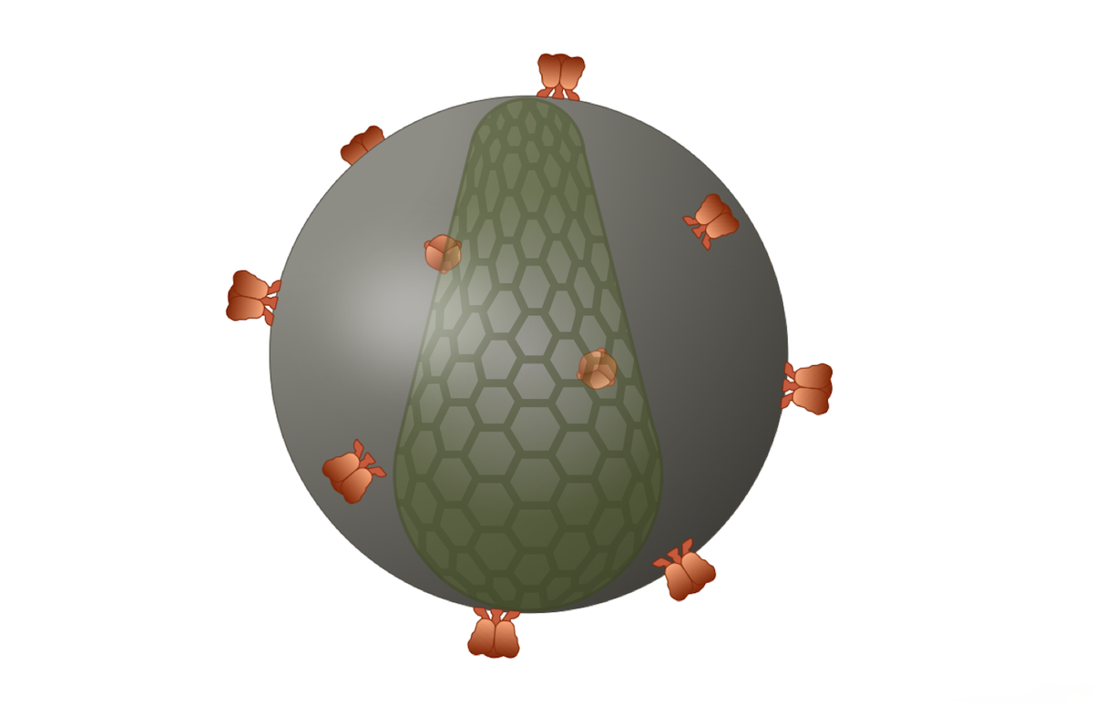 Each HIV has approximately 14 irregularly spaced envelope glycoprotein spikes on the surface of the virus. The envelope spikes consists of trimeric structure, with each trimer made by a dimer of the gp120 subunit atop the gp41 subunit.<div>Illustration by David Ehlert, Cognition Studio and David Spach, MD</div>