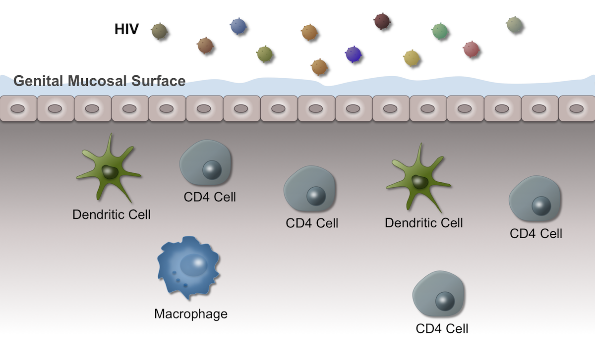 Submucosal cells that play a role in early HIV infection include CD4 T-lymphocytes, dendritic cells, and macrophages.<div>Illustration by David H. Spach, MD</div>