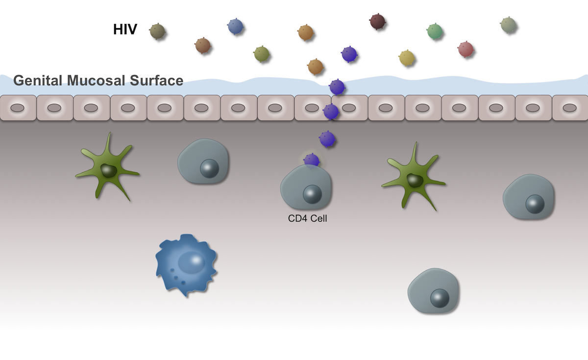 Although many strains of HIV may come into contact with the genital mucosal surface, usually only one (or a few) cause infection. This transmission virus is often referred to as the founder virus. Most initial transmission involves R5-tropic HIV strains that infect CCR5-positive CD4 cells.<div>Illustration by David H. Spach, MD</div>