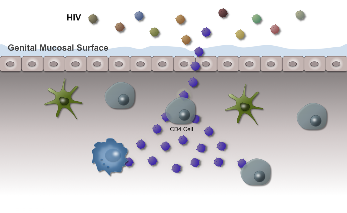 Once cellular infection with HIV takes place, rapid HIV replication and spread to adjacent cells can occur.<div>Illustration by David H. Spach, MD</div>