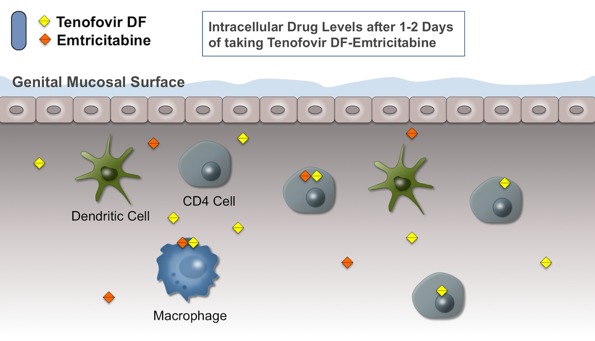 After 1-2 days of taking oral tenofovir DF-emtricitabine, the intracellular levels of tenofovir diphosphate and emtricitabine triphosphate will begin to rise. These medications must undergo phosphorylation to exert their inhibition of HIV.<div>Illustration by David H. Spach, MD</div>