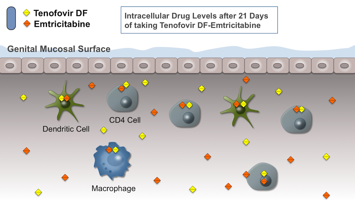 After consistently taking oral tenofovir DF-emtricitabine as PrEP for 21 days, the submucosal cells susceptible to HIV infection should have high intracellular levels of tenofovir diphosphate and emtricitabine triphosphate, the active forms of these drugs.<div>Illustration by David H. Spach, MD</div>