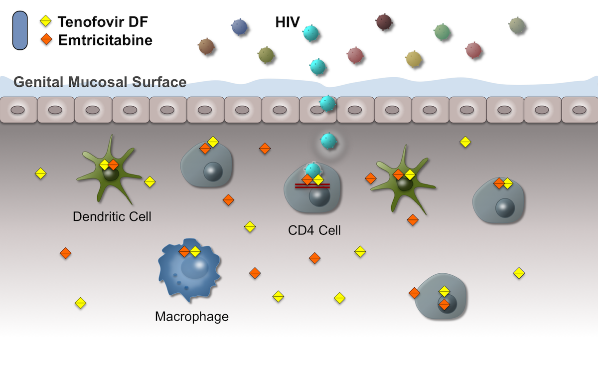 In an individual taking PrEP who has high intracellular levels of tenofovir diphosphate and emtricitabine triphoshpate, HIV infection of submucosal cells results in a dead end, since the medications block HIV reverse transcription. Thus, in this situation, HIV transmission is blocked since HIV cannot replicate and spread to other cells.<div>Illustration by David H. Spach, MD</div>