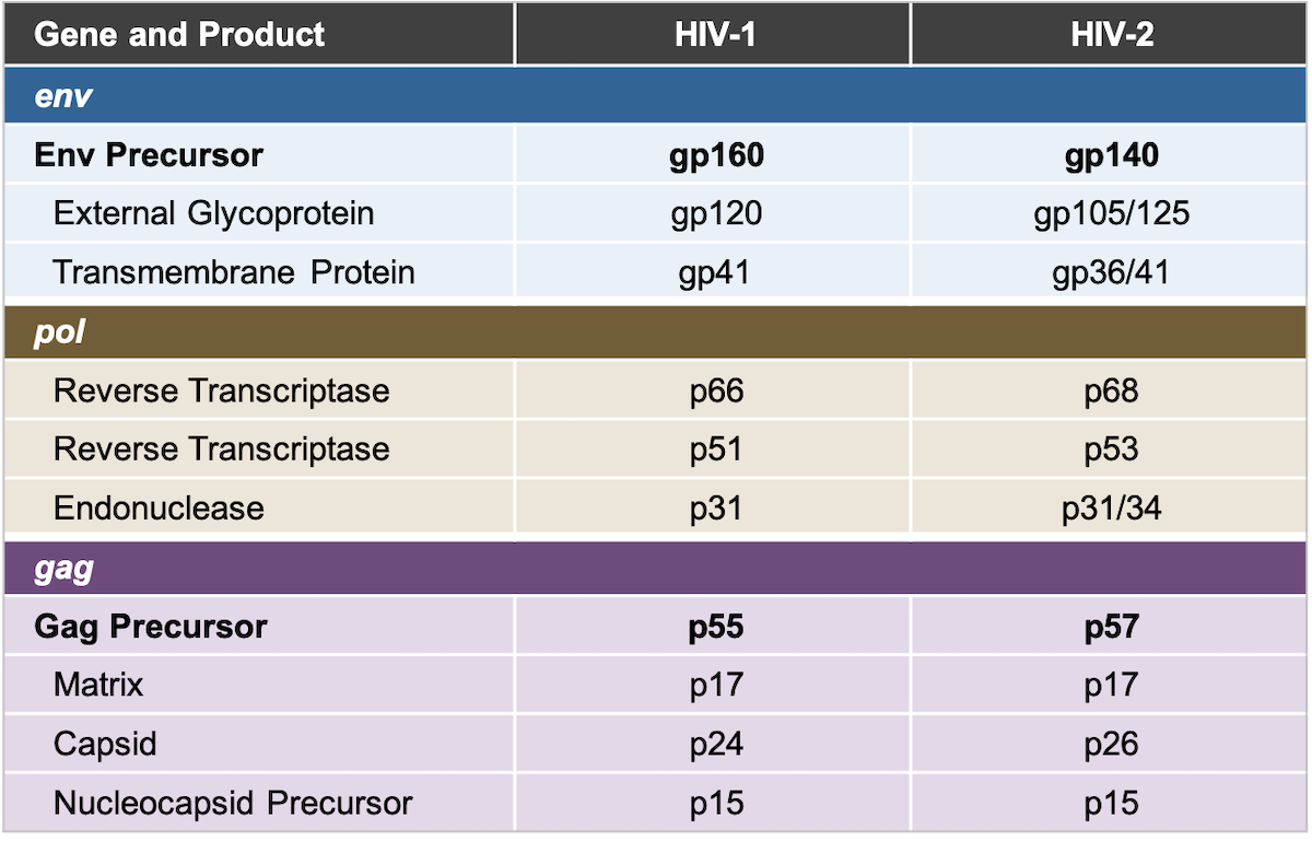 Note the differences between some of the HIV-1 and HIV-2 proteins; this difference explains why HIV-1 Western blot tests fail to detect HIV-2 infection or give an indeterminate result.<div></div>